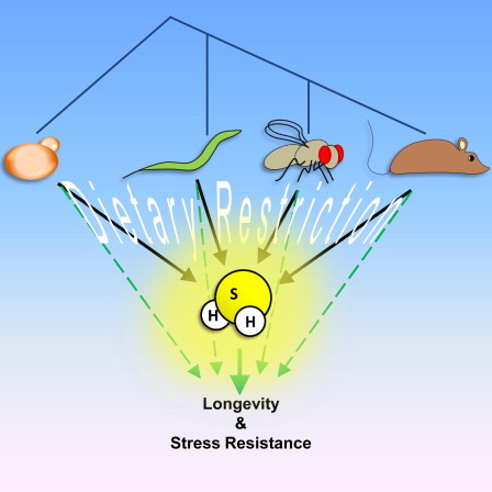 Dieta restringida y longevidad