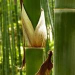 Foresta de bambú
